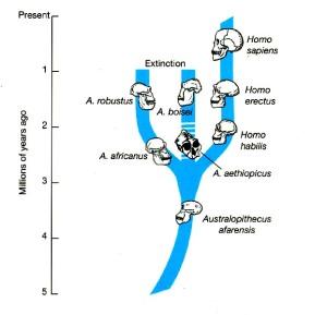 modello di evoluzione lineare, semplificato
