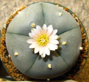 Lophophora Williamsii var. Nuevo Yucatan in flower